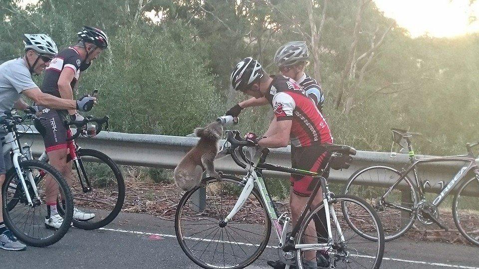 Coala com sede ciclista